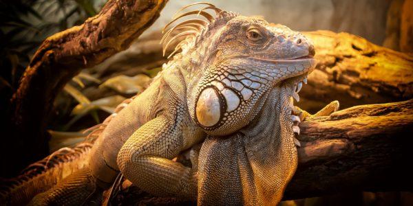 lizard-804114_1920 (1)